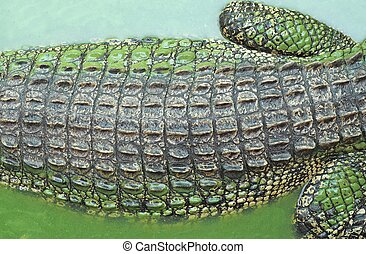 Crocodile - texture of crocodile skin in water