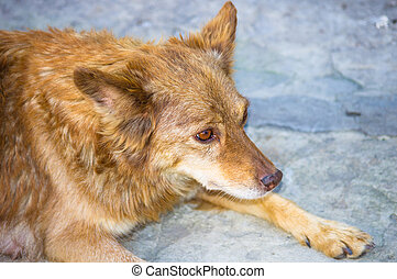 red-haired shaggy dog - easygoing quietly lying red-haired...