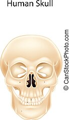 Human skull isolated - Vector illustration of Human skull...
