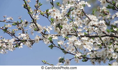 Apricot Flower Blooming in Spring - Apricot Flower Blooming....