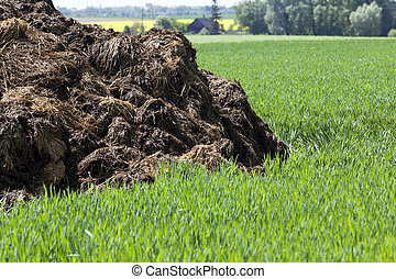 manure for fertilizer - manure, which lies in the field to...