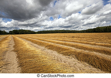 Agricultural field, flax - Agricultural field on which flax...