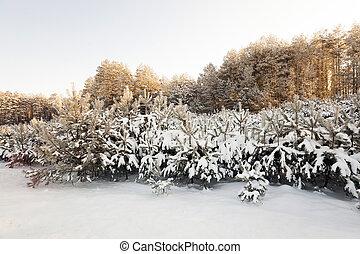 cubierto, pino, árboles, nieve
