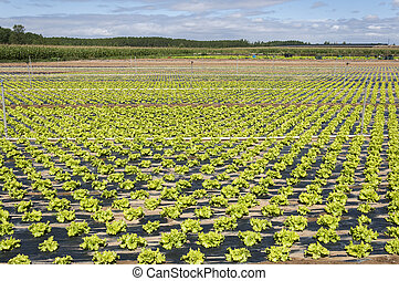 Lettuce field in the plain of the River Esla, in Leon...