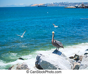 pelican bird living on the ocean America