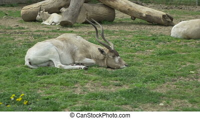 Kob Antelope Laying - A kob antelope is laying down. The kob...