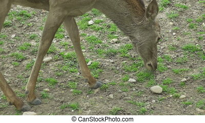 Grazing Deer - Young deer is peacefully grazing grass.