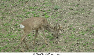 Baby Deer Grazing - A baby deer is peacefully grazing