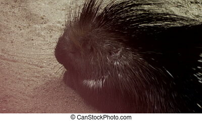 Porcupine in the Sand - A porcupine pig in the sand....