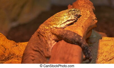 Komodo Dragon Reptile - A Komodo dragon Varanus laying on a...