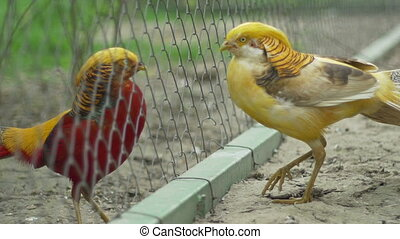 Golden Chinesse Pheasant - Agressive golden Chinesse...