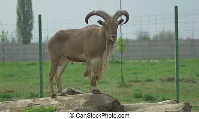 Standing Barbary Sheep - A barbary sheep is standing tall...