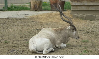 Kob Antelope - A kob antelope laying down. The kob (Kobus...