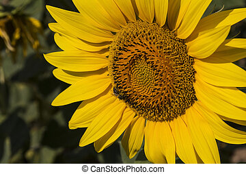 Sunflower closeup - Close up of the sunflower The common...