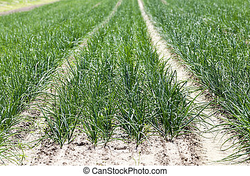 green onions in the field - Agricultural field on which...