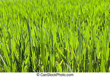 cereal close up - photographed close up green leaves of...