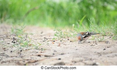 Male common chaffinch forages on sandy ground in summer -...
