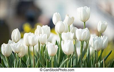 cidade,  tulips, parque, cedo, delicado, primavera, branca,  bloomed