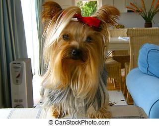 Yorkshire terrier - Yorkie posing