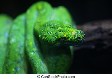 focus dew on green snake head, wildlife