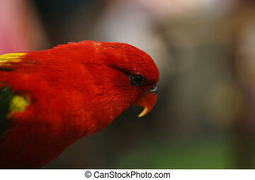 small red parrot, eye - closeup small red parrot
