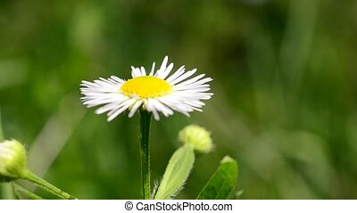 Close-up of white and yellow daisy flower trembling in breeze