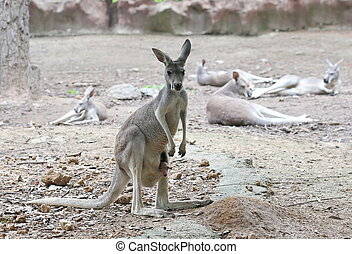 kangaroo with baby in bag