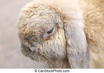Rabbit Holland Lop - closeup Rabbit head Holland Lop