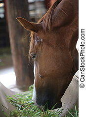 brown horse - closeup eye, brown horse