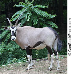 gemsbok , animal in forest