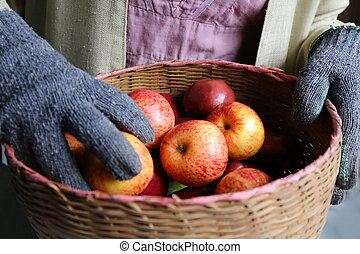 gardener hand hold apple basket