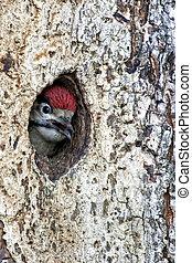 pájaro carpintero, árbol, hueco