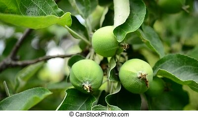 Human hands touch green unripe apples hanging on tree...