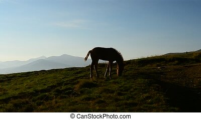 Cute foal grazing at dawn in Carpathian Mountains