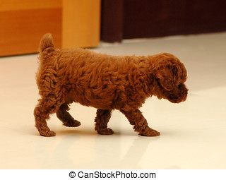 Red Toy poodle - A small red toy poodle