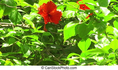 Hibiscus flower on a green bushes swaying in the wind