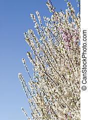flowering tree - spring atmosphere with a flowering tree in...