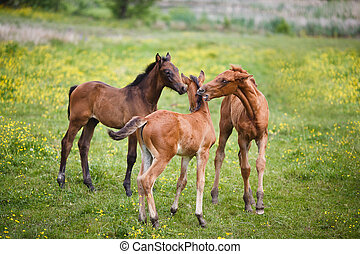 Three foals on meadow - Three foals plays on a meadow at...