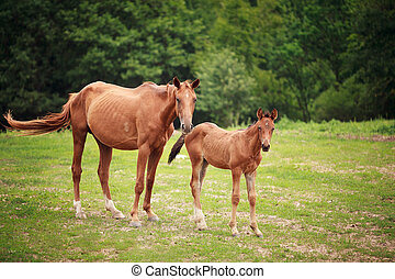 Foal near its mother - Portrait of the foal with mother at...