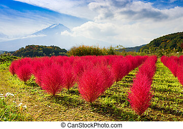 Tumble Weed and Mt. Fuji - Kokia tumbleweed bushes during...