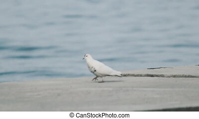 White dove near the sea - White dove near the sea
