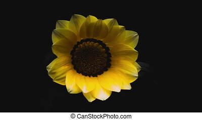 Yellow flower petal time lapse blossom - gazania rigens time...