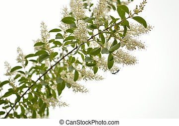 Privet branch against white with love bug