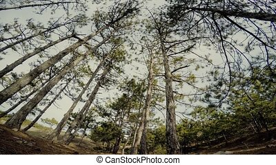 trees in the pine forest