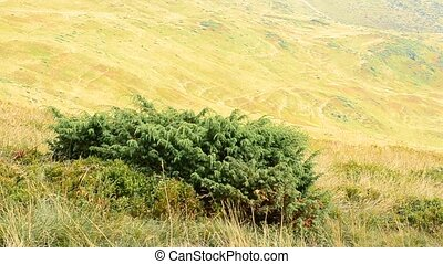 Green juniper blown by wind on background of yellow hills -...