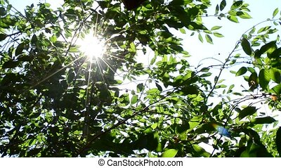 Sun rays come through green cherry tree foliage - Beautiful,...