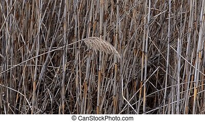 Sprig grass sways in the wind - Beautiful fluffy sprig of...