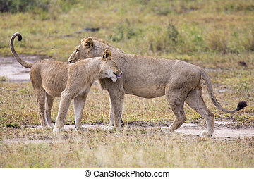 Two male lions greeting to affirm loyalty bond - Two male...
