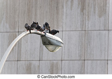City Pigeons - A group of six city pigeons sitting roosted...