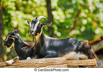 Goats on the Stack of Wood - Two Goats on the Stack of Wood